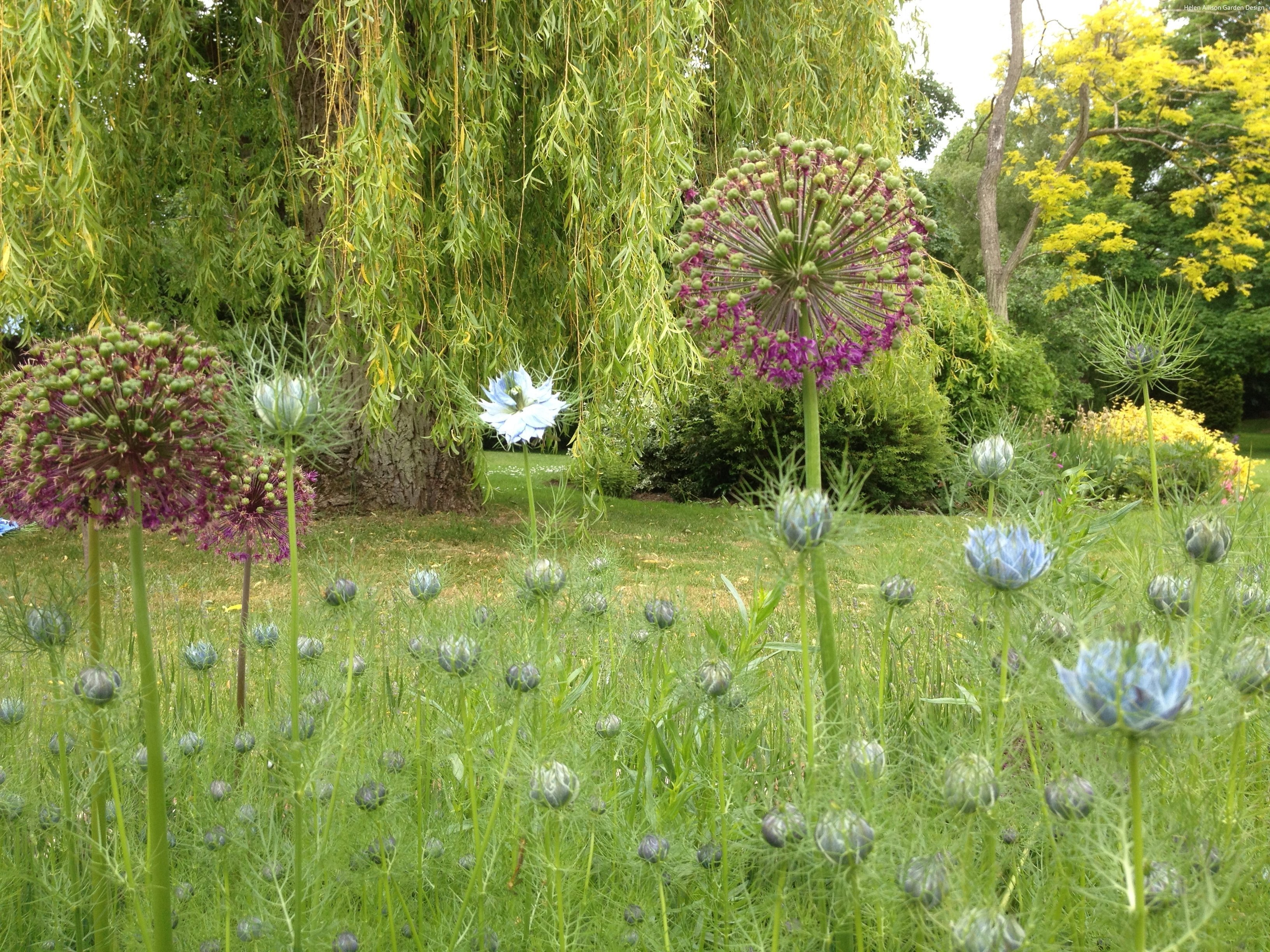 Allium and Nigella by Helen Allison Garden Designer